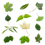 Isolated green leaves of various trees. On white background Royalty Free Stock Image