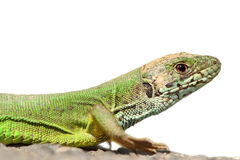 Isolated green lizard Stock Photo
