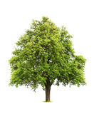 Isolated green lush tree Stock Photo