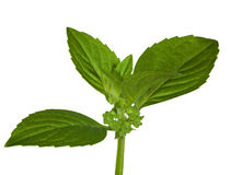 Isolated green mint leaves Royalty Free Stock Photo