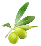 Isolated green olives on a branch. Isolated olives. Two green olives on with leaves isolated on white background Royalty Free Stock Images