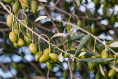 Isolated green olives on olive tree Stock Photos