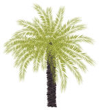 Isolated green palm tree illustration Royalty Free Stock Images
