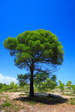 Isolated green pine tree Royalty Free Stock Photography