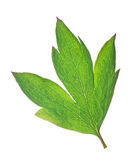 Isolated green plant leaf Stock Image