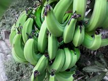Isolated Green Raw Bananas Stock Images