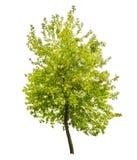 Isolated green summer small tree Stock Photo