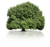 Isolated green tree on white background. Summer single tree Stock Image