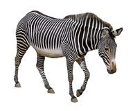 Isolated Grevy zebra Stock Images