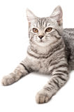 Isolated grey cat Royalty Free Stock Photos