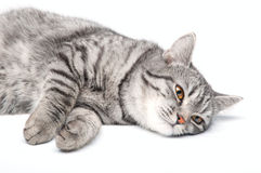 Isolated Grey Cat Stock Images