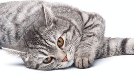 Isolated grey cat Royalty Free Stock Photo