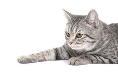 Isolated grey cat Stock Photo