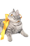 Isolated grey cat with yellow bow Royalty Free Stock Image
