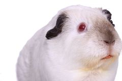 Isolated guinea pig. White and brown guinea pig with red eyes Stock Photos