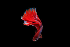 Isolated half moon betta fish. On black background Royalty Free Stock Image