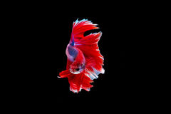 Isolated half moon betta fish. On black background Stock Photo