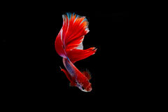 Isolated half moon betta fish. On black background Stock Photos