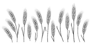 Wheat ears set. Isolated hand drawn wheat ears set on white background Royalty Free Stock Image