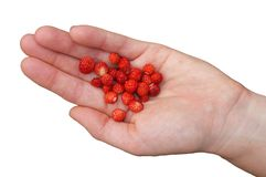 An isolated handful of wild strawberries Royalty Free Stock Image