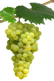 Isolated hanging grapes. Isolated bunch of white grapes hanging on vine Royalty Free Stock Images