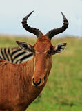An isolated Hartebeest on the plains in Africa Stock Photos