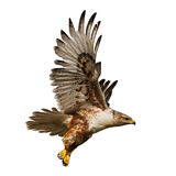 Isolated Hawk In Flight Stock Image