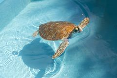 Isolated Hawksbill Marine Sea Turtle Swimming Transparent Water Caribbean. Isolated Hawksbill Marine Sea Turtle Swimming in Transparent Shallow Water on stock photo