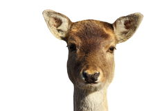 Isolated head of fallow deer hind Royalty Free Stock Photos