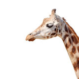 Isolated head giraffe Royalty Free Stock Photo