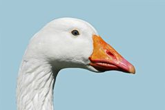 Isolated head of goose. Isolated head of white goose of profile Stock Photography