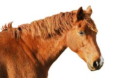 Isolated head horse. Isolated red head horse of profile Royalty Free Stock Photo