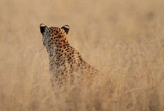 Isolated head of a leopard Stock Photos