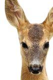 Isolated head of a roe deer Stock Photography