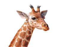 Isolated head young giraffe Royalty Free Stock Photos