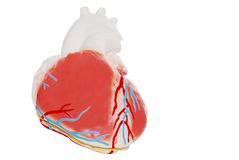 Isolated Heart. Isolated human Heart on a white background Stock Photography