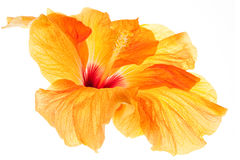 Isolated Hibiscus Bloom  Royalty Free Stock Photography