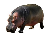 Isolated hippopotamus. Walking of 3/4 Stock Image