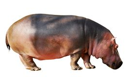 Isolated hippopotamus. Isolated a hippopotamus of profile Stock Images