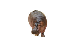 Isolated hippopotamus on white background. Stock Photography