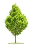 Isolated hornbeam tree on a white background Stock Image