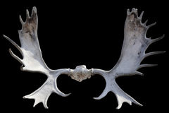 Isolated horns of moose Stock Image