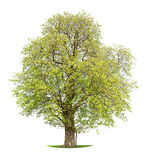 Isolated Horse Chestnut tree stock image