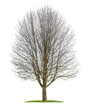 An isolated horse chestnut tree in the winter Royalty Free Stock Image