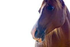 Isolated horse face. A close up portrait of the face of a horse isolated against a white background Royalty Free Stock Photo