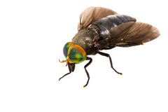 Isolated of Horse Fly Stock Photography