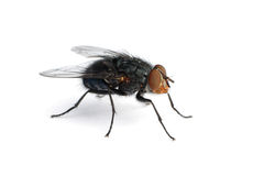 Isolated housefly Stock Photos