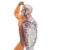 Isolated human anatomy model. Royalty Free Stock Image