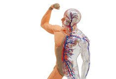 Isolated human anatomy model. Isolated human body model toy Royalty Free Stock Photos