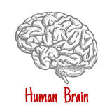 Isolated human brain engraving sketch Royalty Free Stock Photography